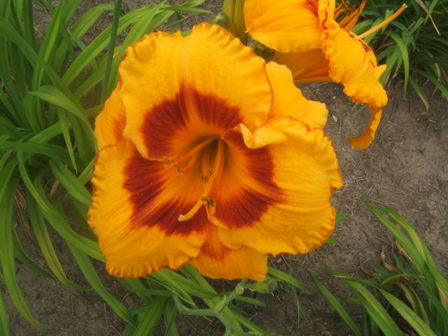 Daylily Fooled Me has colours from the warm side of the Wheel and are in harmony.
