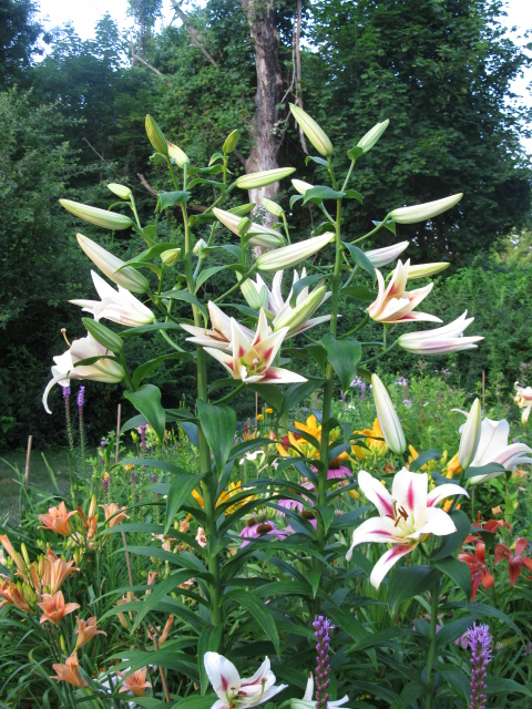 orienpets tree lilies, gardening