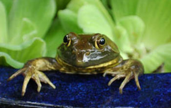 frogs in your water features, outdoor living, pets animals, ponds water features