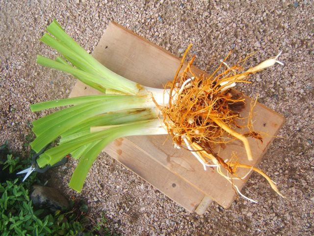 how to divide daylilies, gardening, A perfect division ready to be replanted