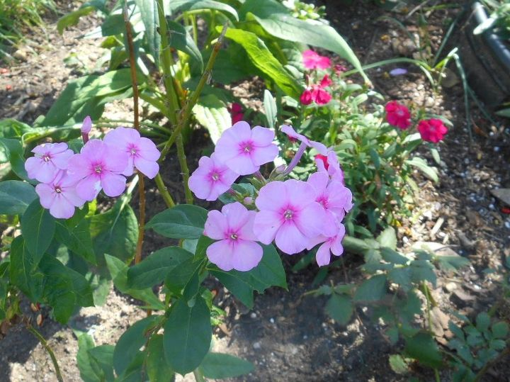 Almost lost this transplanted tall phlox - I moved a few weeks ago - in think it is happy now.