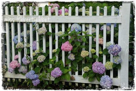 Hydrangeas peeking through the picket fence