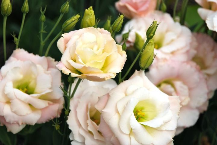 The delicate pink and yellow blooms of Lisianthus (now named Eustoma) are amazingly reminiscent of a rose. It is native to the Great Plains region in the US.