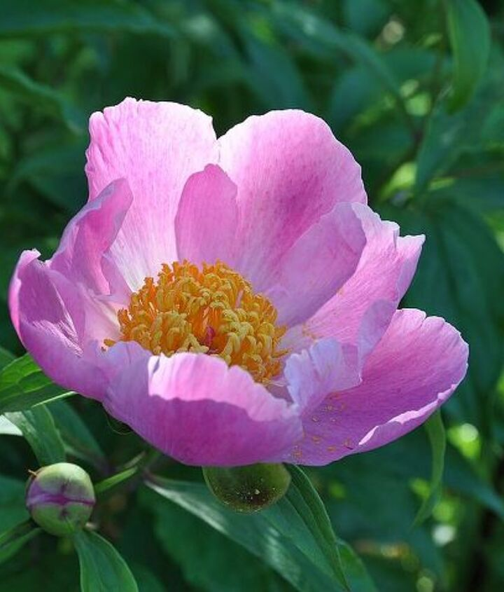 Peony in the morning light.
