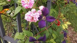 , pink rose and purple clematis on my arbor