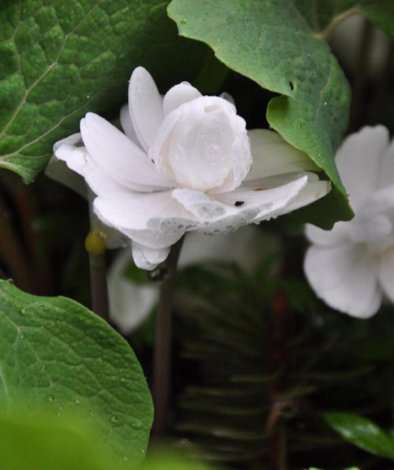 "Double Bloodroot, 'Sanguinaria canadensis ""Multiplex'"