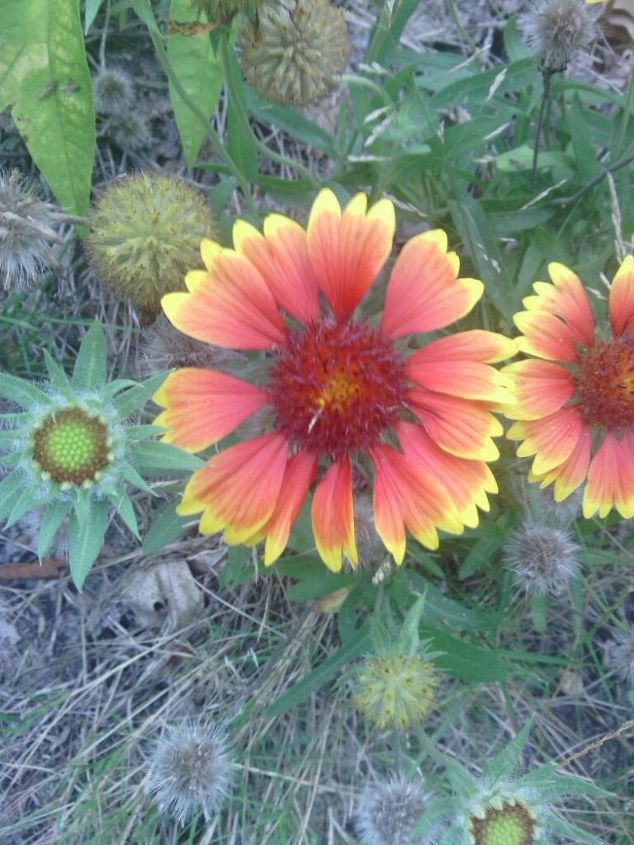does anyone know what this flower is, flowers, gardening, My brother sent this picture to me I don t lnow what to tell him it is