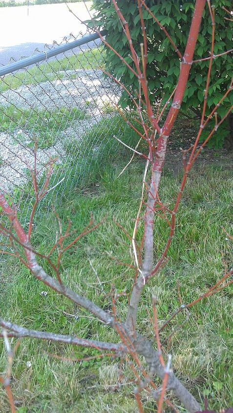 is something wrong with my mom s japanese maple, gardening, Another view