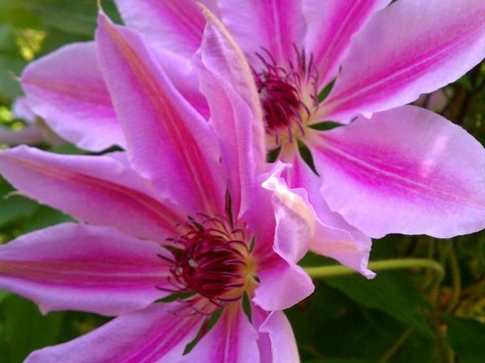 clematis, gardening