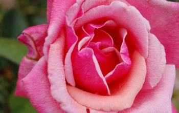 All Rose & No Thorn! 3 Key Spring Rose Care Tips for Top Blossoms