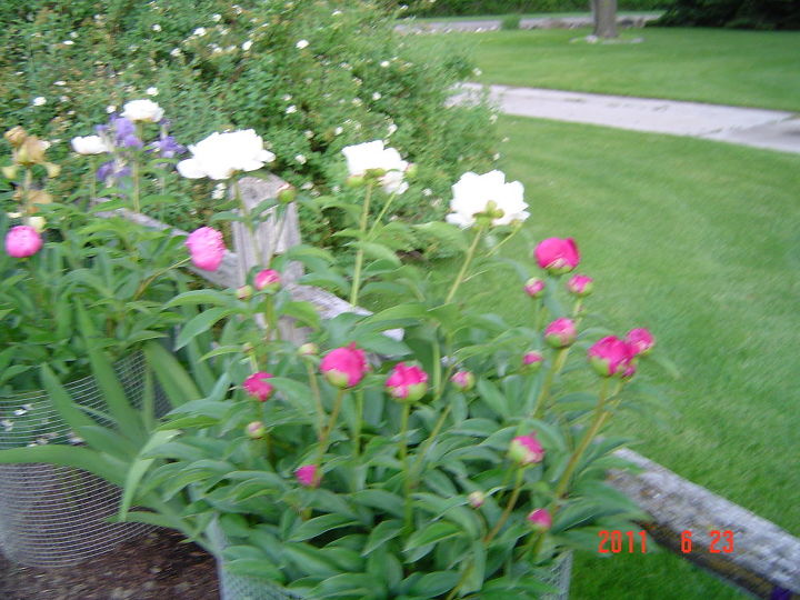 This and the next picture are peonies that got mixed when a storm moved in.  Note red & white are mixed