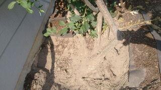 transplant honeysuckle bush, gardening, landscape
