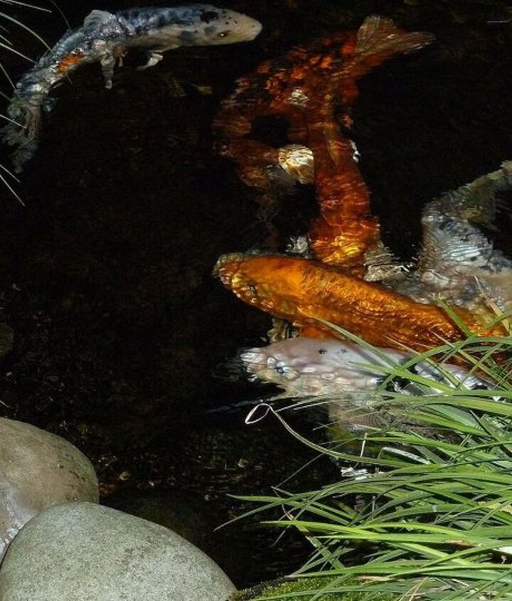 koi snatched by birds or stolen, outdoor living, pets animals, ponds water features