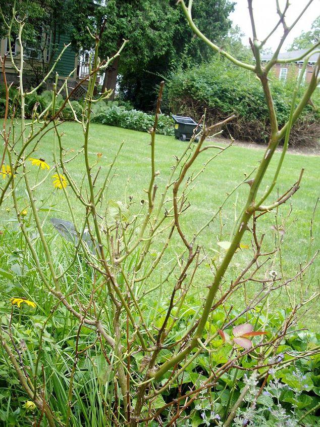 my rose bush looks bad, gardening