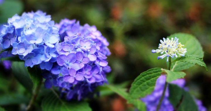 hydrangea love, flowers, gardening, hydrangea, hydrangea bloom