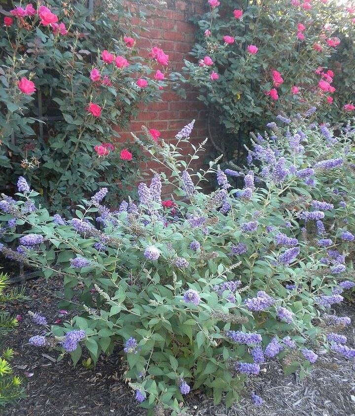 Dwarf Butterfly, Knockout roses - Aug