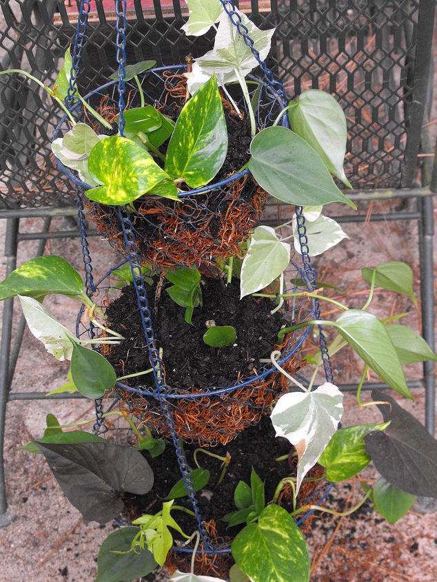 step 3: arranged my cuttings/rootings, the way I wanted them to grow over sides of baskets and added more dirt to cover.
