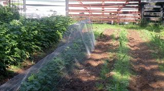 how to keep the critters out of the garden, gardening, pest control, raised garden beds, Lined down a garden row for lots of protection