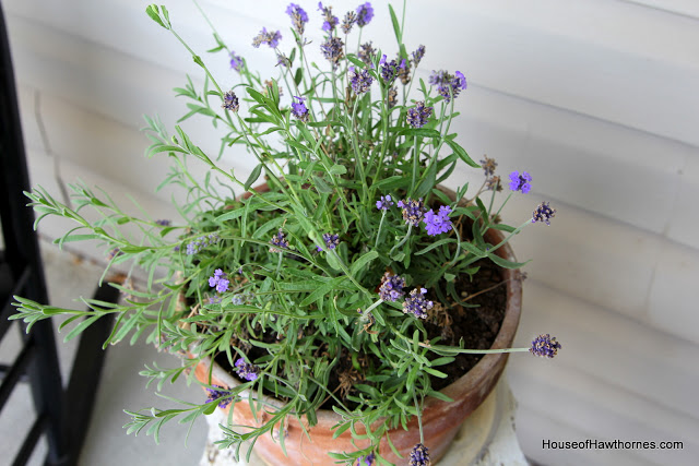 Lavender in an old crusty pot