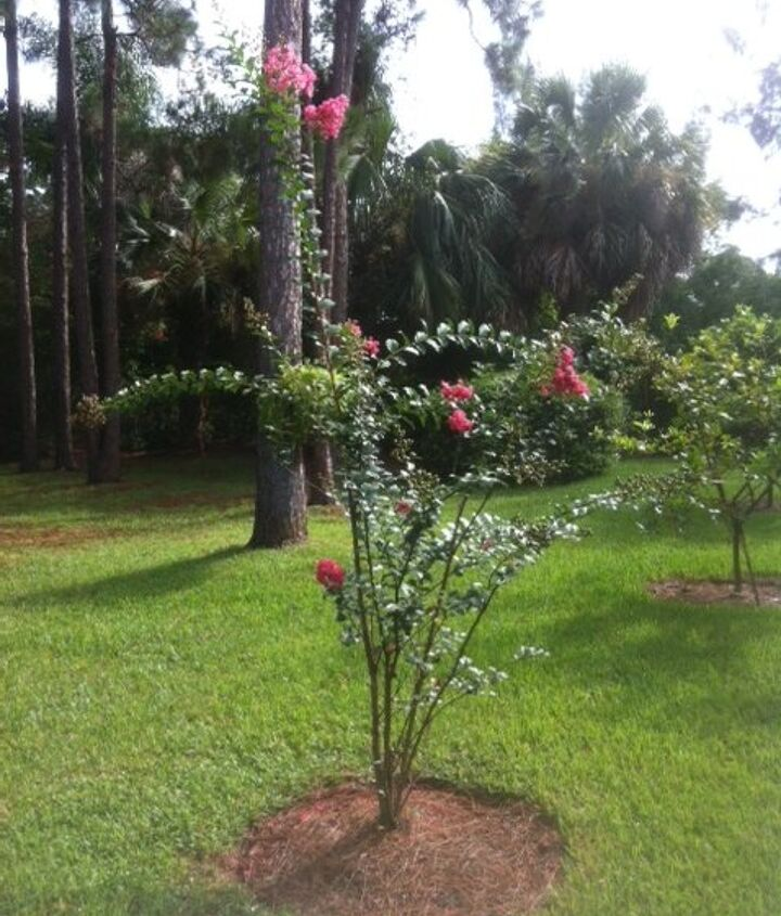 need some advice on crape myrtle, gardening