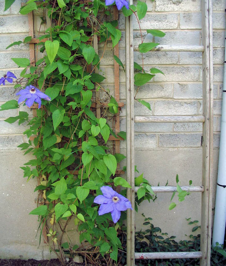 grow clematis for a gorgeous burst of colour, flowers, gardening, When the purple blooms finish a second vine with deep red flowers appears