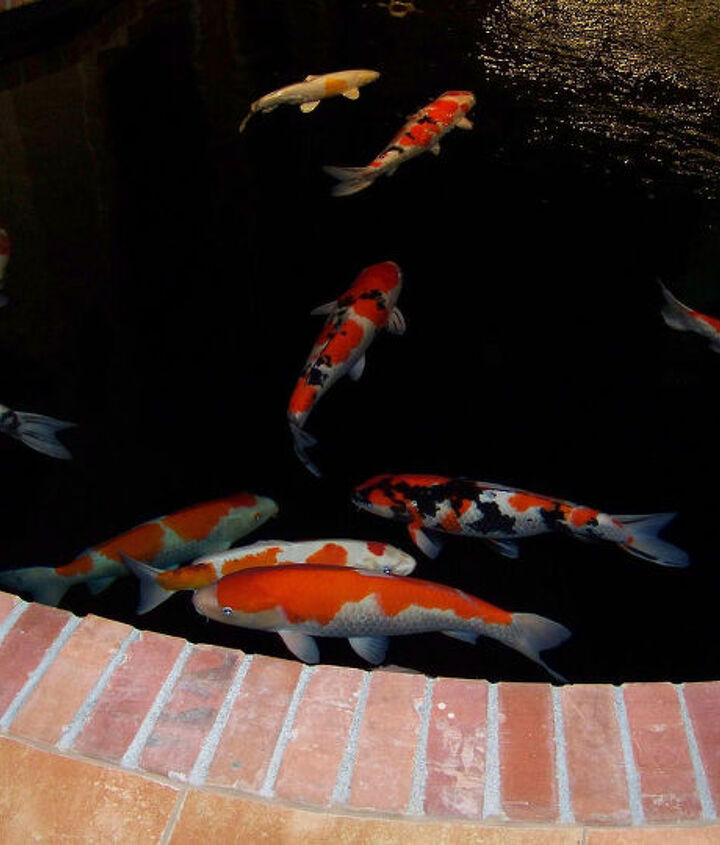 """These Koi all come from the mud ponds of Japan, they are all """"show stoppers"""" but are no longer being shown."""