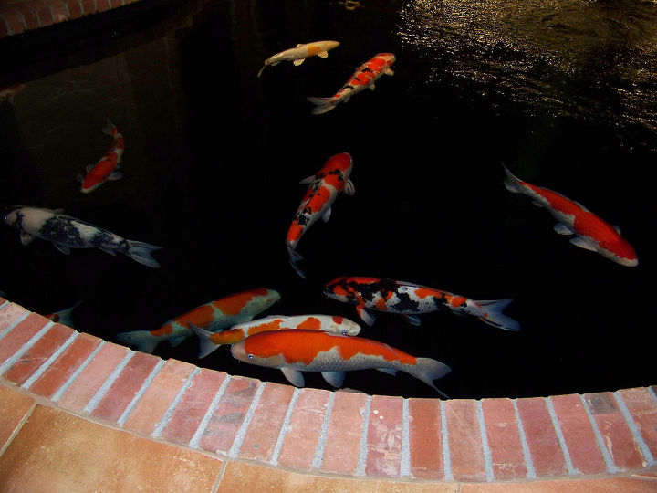 i designed and built this koi pond for my clients show fish it is over 39 000, ponds water features, These Koi all come from the mud ponds of Japan they are all show stoppers but are no longer being shown