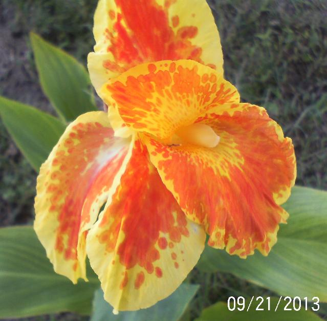 Canna just bloomed