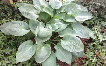 four great low maintenance plant ideas for your garden, flowers, gardening, succulents, Hostas plant
