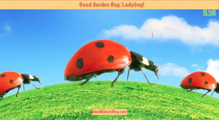 """This little spotted """"lady"""" is important in the garden. Do you believe she is a """"good bug"""" or a """"bad bug?""""  Watch and find out!"""