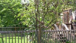 , This is one of the pear trees A Dogwood tree is behind it so half of the pear is black