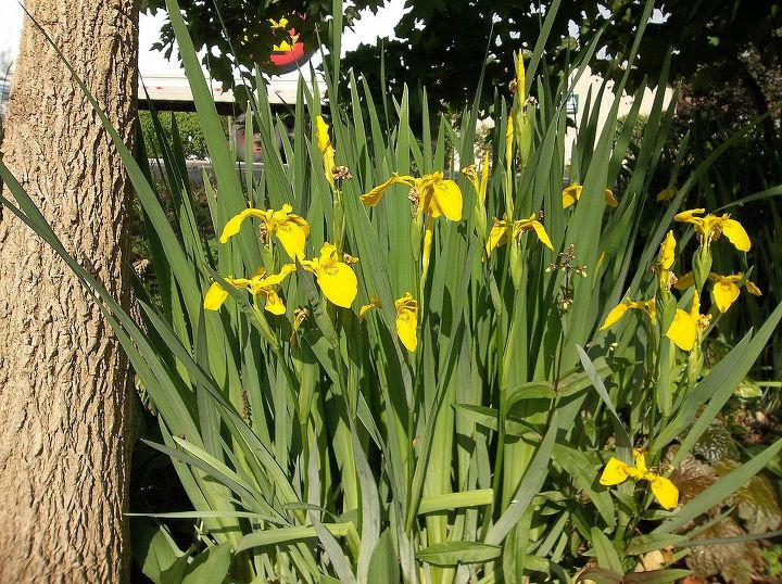 yellow irises. I took them from the stream and put them in my gardens.