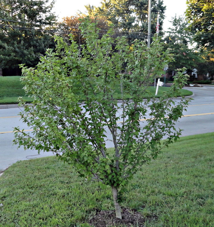 rose of sharon tree, gardening, This is the tree
