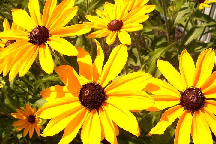 blackeyed susans, gardening