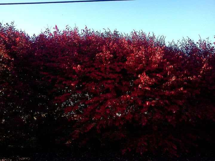 Burning Bush, brilliant red fall color and lovely structure underneath when they finally do lose their leaves