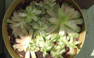 hens and chicks plants, gardening, Today s photo
