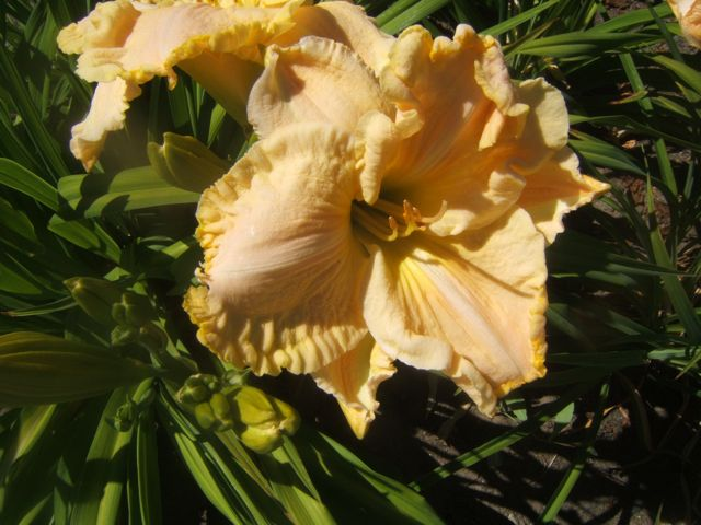 This new daylily is from a cross made in 2010 at our farm.