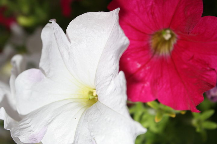 I also Love petunia's because they are the cheapest to buy at Nurseries and yet also last to fall creating a full season of beautiful bloom.