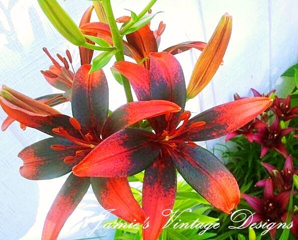 my lilies 2013 asiatic oriental and daylilies zone 5 6, flowers, gardening