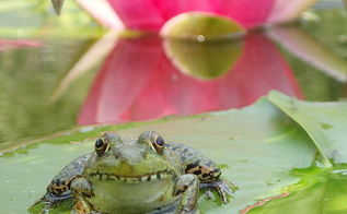 beauty is in the eye of the beholder ecosystem pond nh, outdoor living, ponds water features, Beauty is in the eye of the beholder ecosystem pond NH Green Frog enjoying its pad