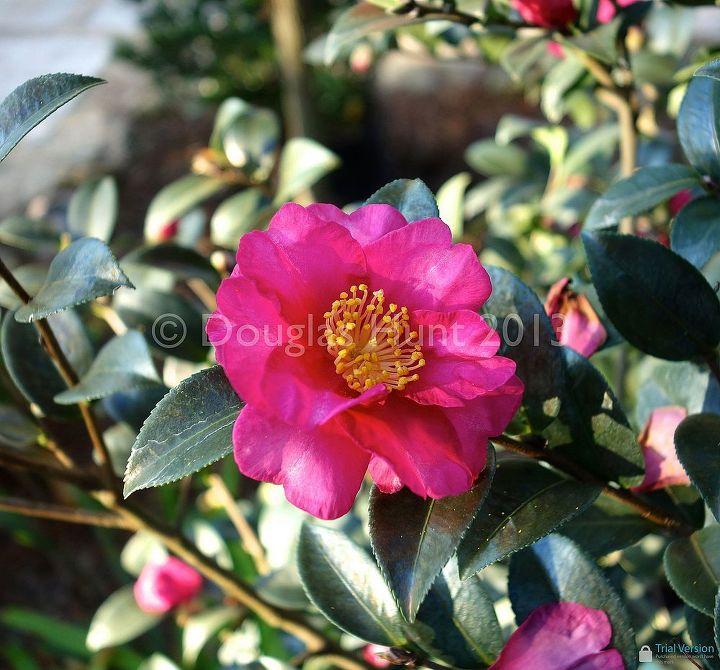 Camellia sasanqua (zones 7-9)