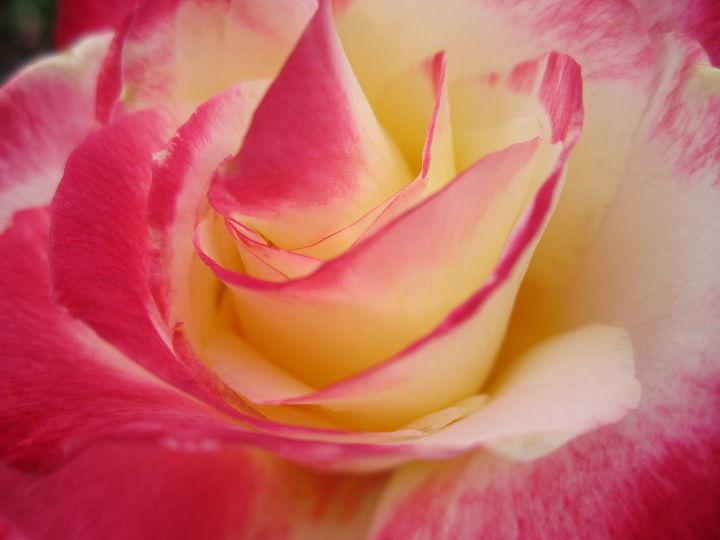elizabeth park hartford ct, flowers, gardening, A rose is a rose