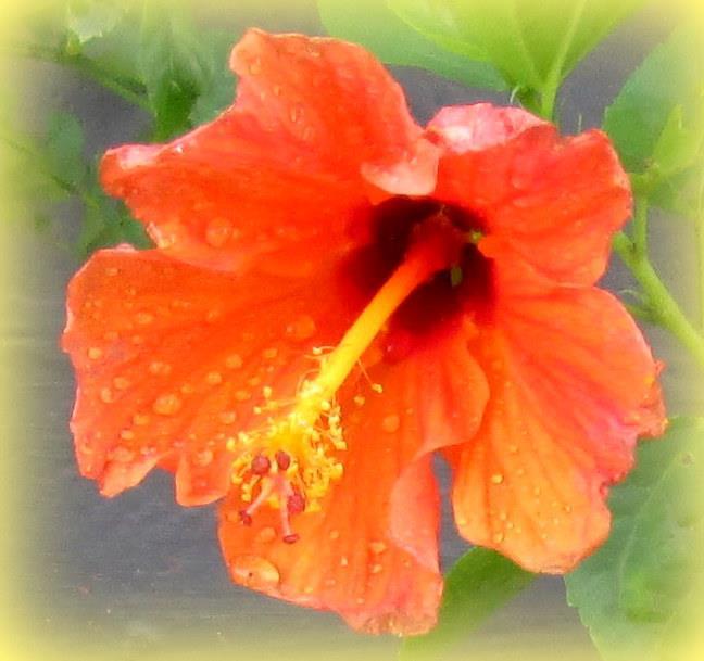 Hibiscus orange colour