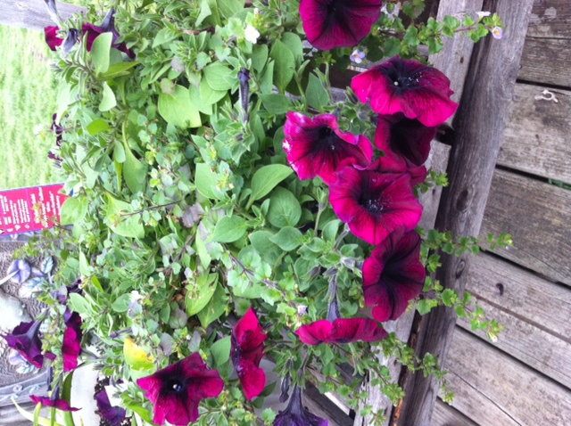 Update on my Purple Petunias and Bacoba Yesterday it was full of blooms