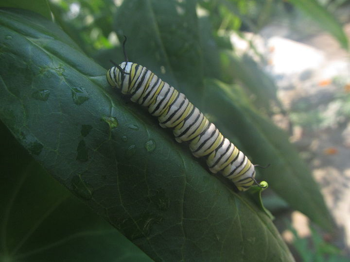 is this a monarch caterpillar, pets animals