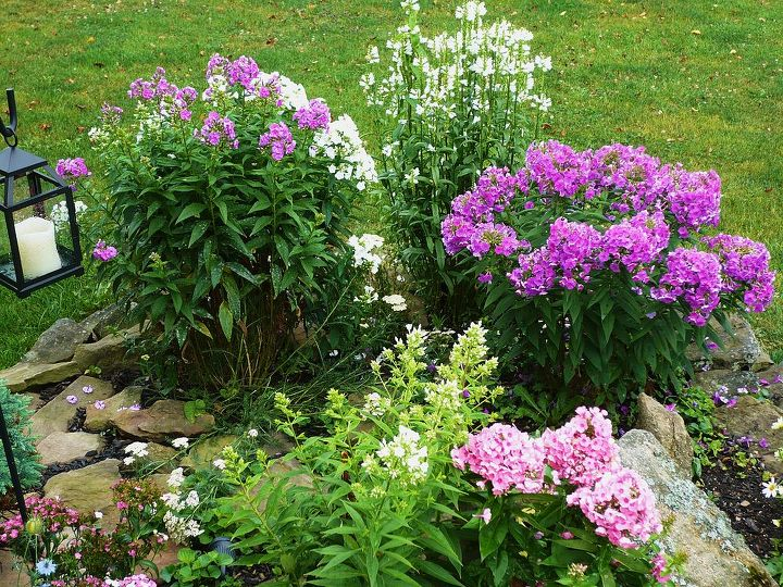 my phlox garden, gardening