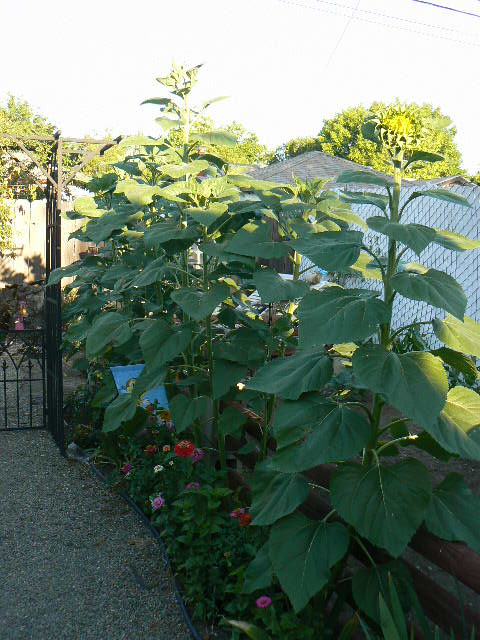 My sunflowers are starting to get really tall & just starting to open.