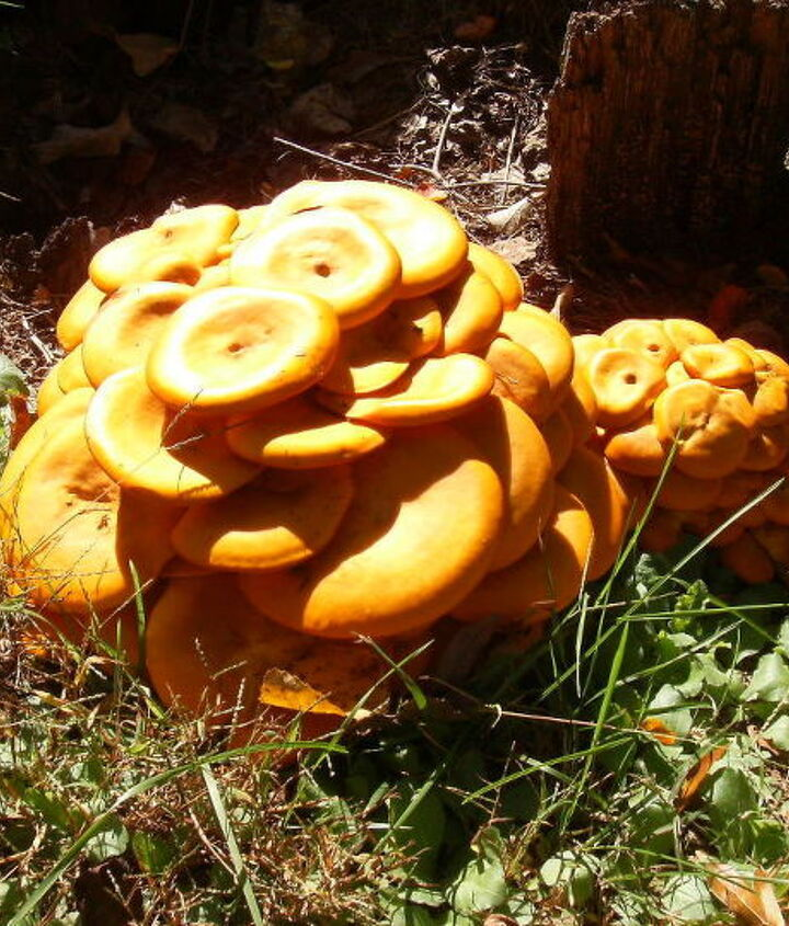 a neighbor s yard has these very orange mushrooms growing near the street so i took a, landscape, outdoor living