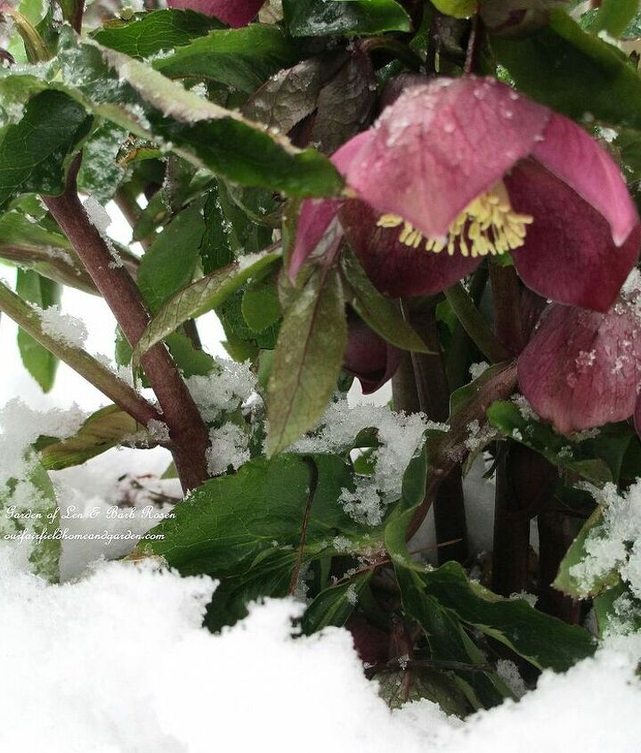 Pink Hellebores in the snow