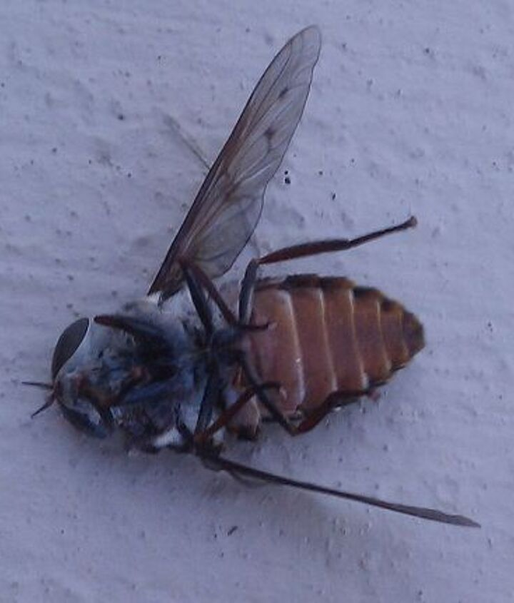 Deer Fly DEAD on its back